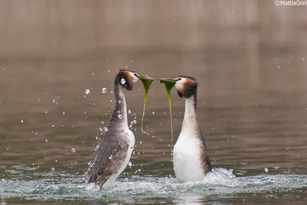 Great-Crested-Grebe