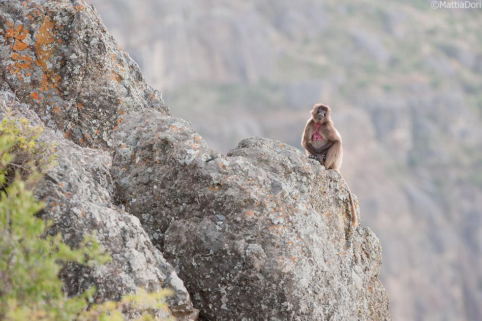 Gelada-baboon